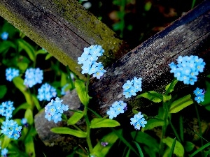 Blue, Flowers, forget-me-not