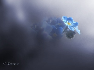 Blue, forget-me-not