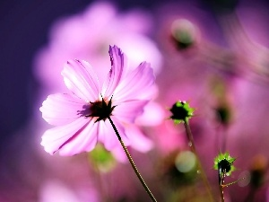 glamour, Flowers, Cosmos