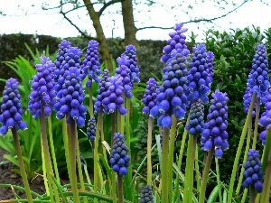 Armenian grape hyacinth