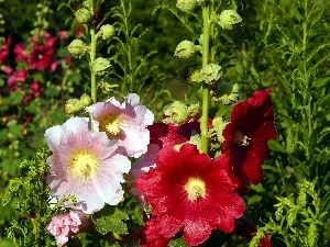 flourishing, Hollyhocks
