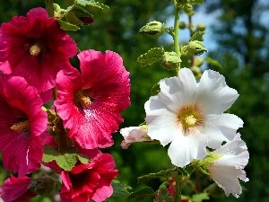 flourishing, Red, Hollyhocks, White