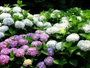 hydrangeas, color