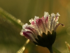 ice, crystals, frozen, daisy