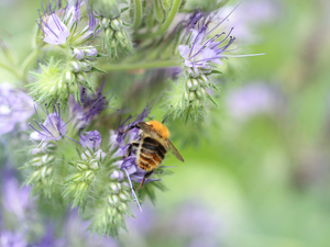Insect, purple, Scorpionweed, bee, Flowers