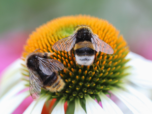 insects, Bumblebees, echinacea, Colourfull Flowers