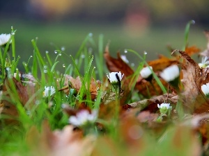 Leaf, dry, grass, droplets, daisies