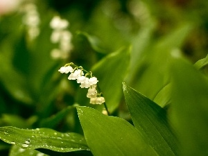 Leaf, dew, lily of the Valley