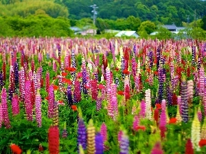 lupine, Meadow, color