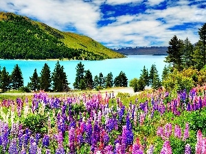 The Hills, color, lupine