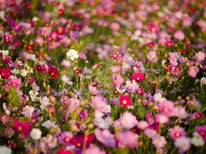 Meadow, Flowers, Cosmos