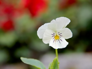 White, pansy, small