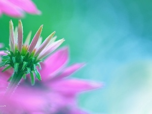 Pink, Colourfull Flowers, echinacea