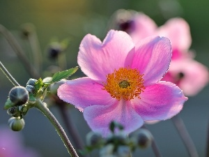 Colourfull Flowers, Japanese anemone, Pink