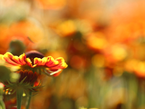 Colourfull Flowers, Helenium, Red