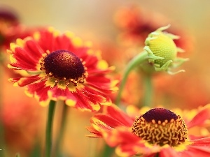 Red, Helenium, Flowers