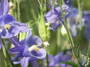 Columbines, Flowers, purple