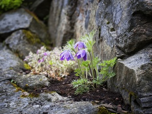 pasque, rocks, Flowers