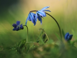 Blue, Spring, Flowers, Siberian squill, purple, Violets