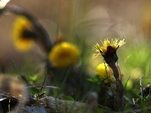 Spring, Flowers, Common Coltsfoot, Yellow
