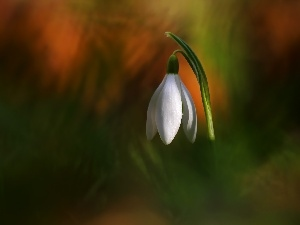 Spring, Colourfull Flowers, Snowdrop, White