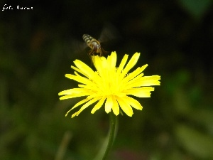 sow-thistle, wasp