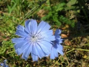 chicory wallpaper flower - photo #19