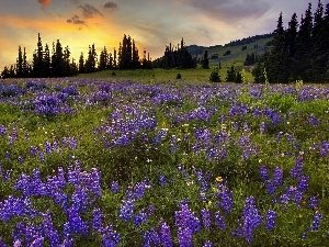 sun, rays, viewes, The Setting, Meadow, trees, lupine