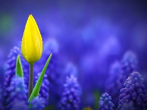 Yellow, tulip, Muscari