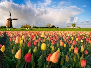 color, Tulips, Windmill
