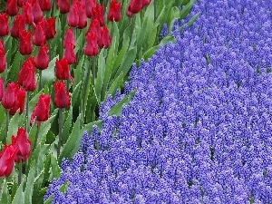 Tulips, Red, beatyfull, Muscari, Flowers