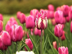Pink, Tulips