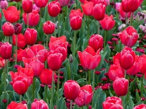 Red, Tulips