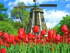 Tulips, Windmill, Red