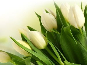 tulips, bouquet, white