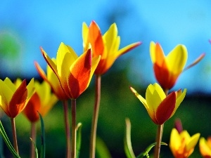 Tulips, orange, Yellow