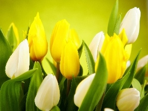 Yellow, Tulips, White