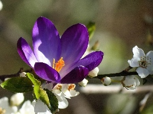 twig, Flowers, viewes, fruit, trees, crocus