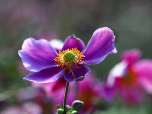 Violet, Colourfull Flowers, Japanese anemone