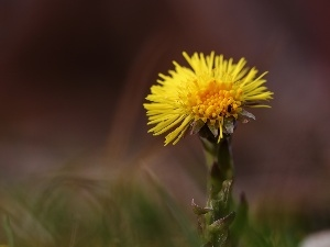 Yellow, Colourfull Flowers, Common Coltsfoot