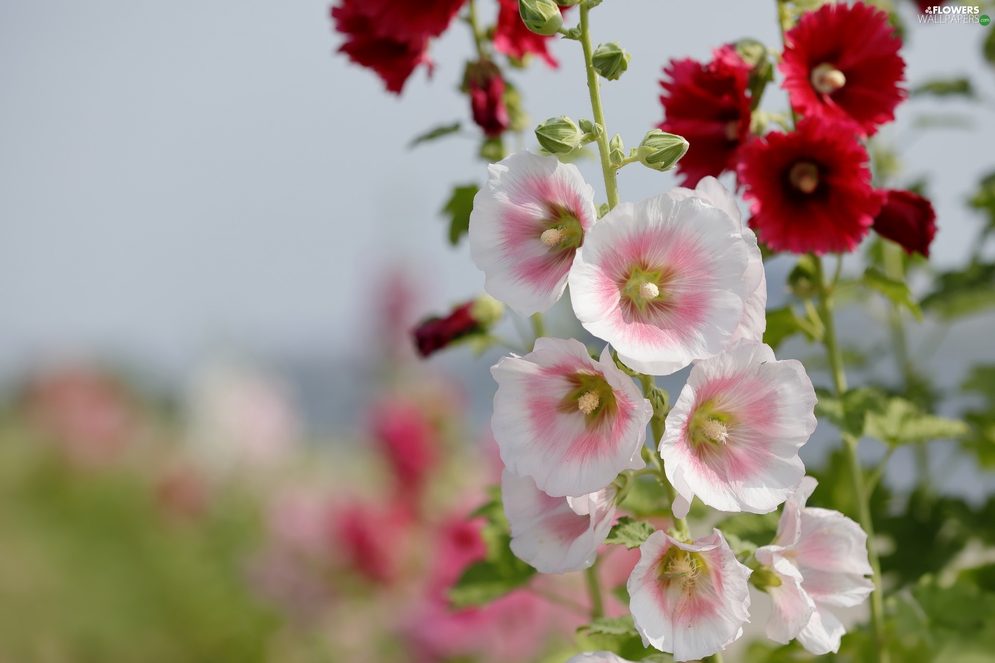 white and pink, Flowers, Hollyhocks