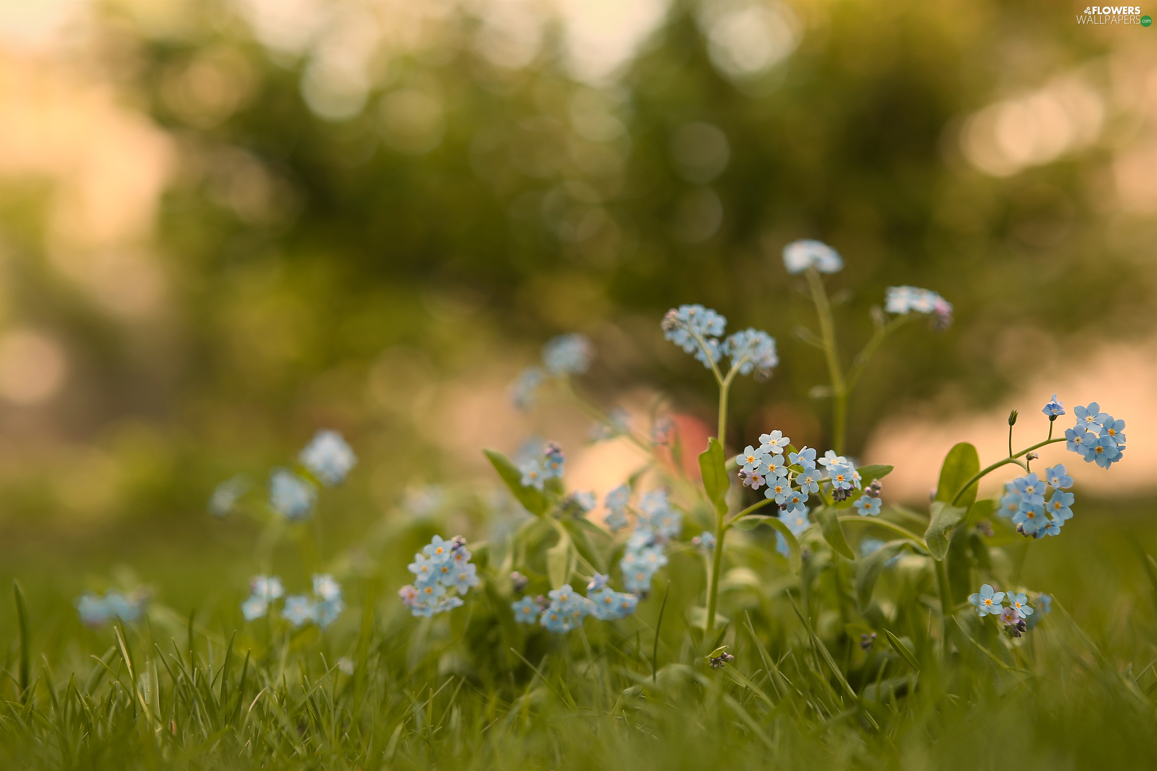fuzzy, background, Forget, grass, Flowers