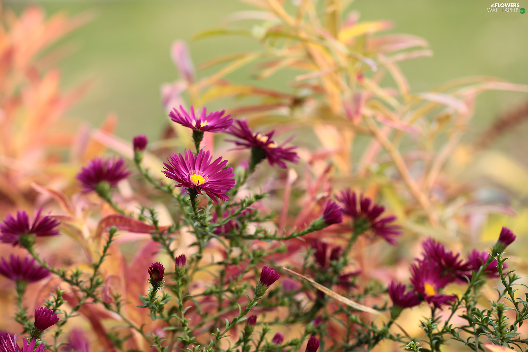 Aster, claret, Flowers, Beetle