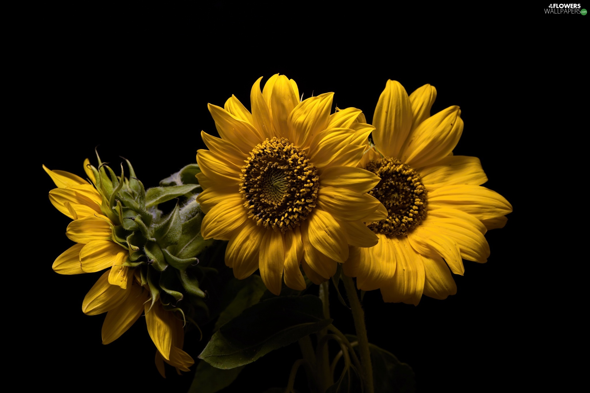 Three, Black, background, decorative Sunflowers - Flowers ...