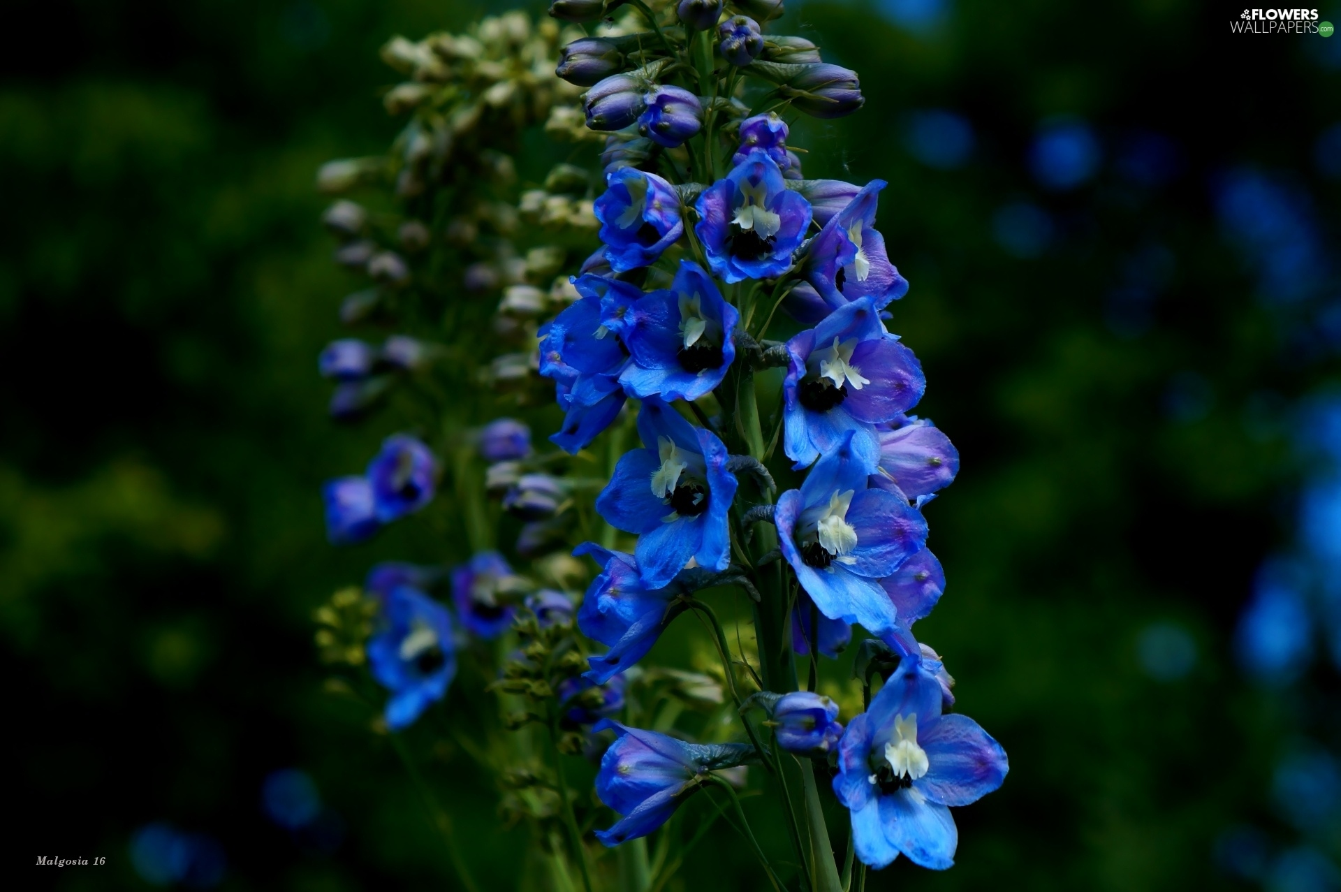 Flowers, garden, Blue, larkspur