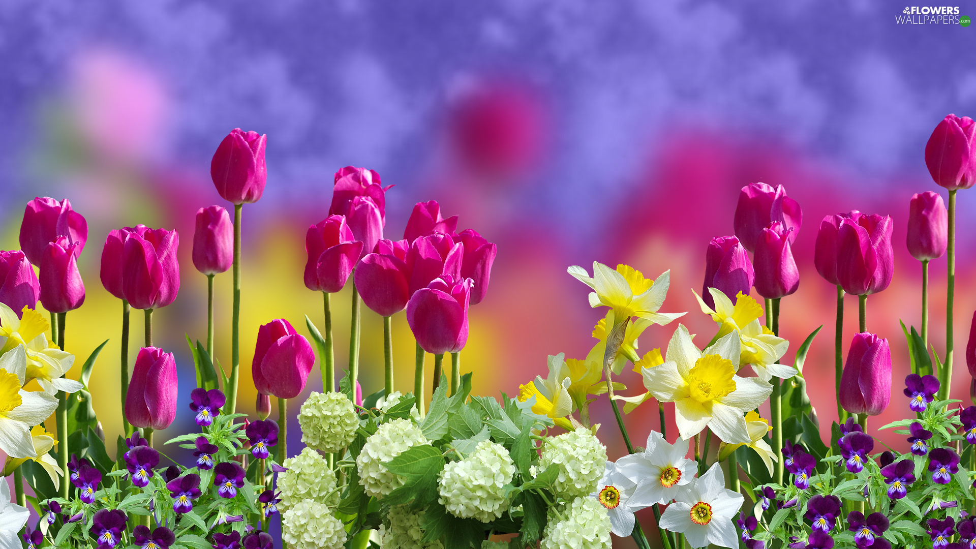 Pansies, Blur, Narcissus, Daffodils, Tulips