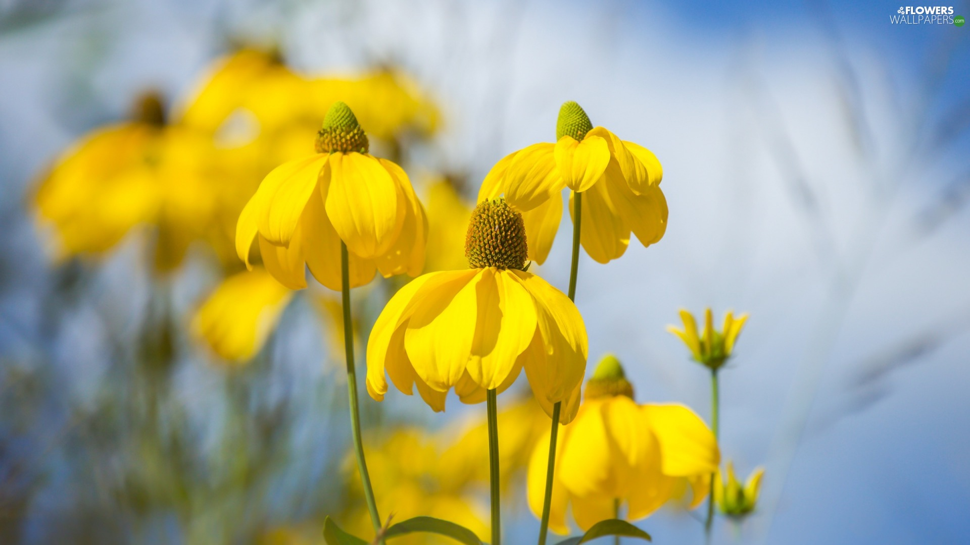 Yellow, Rudbeckia, blurry background, Flowers
