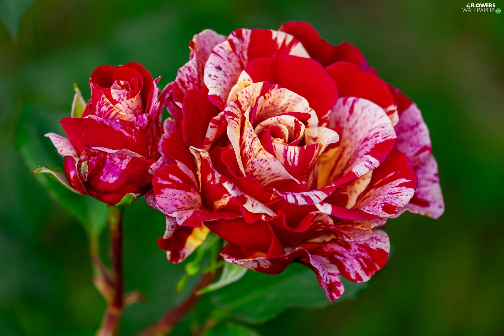 roses, bud, developed, Red-Yellow