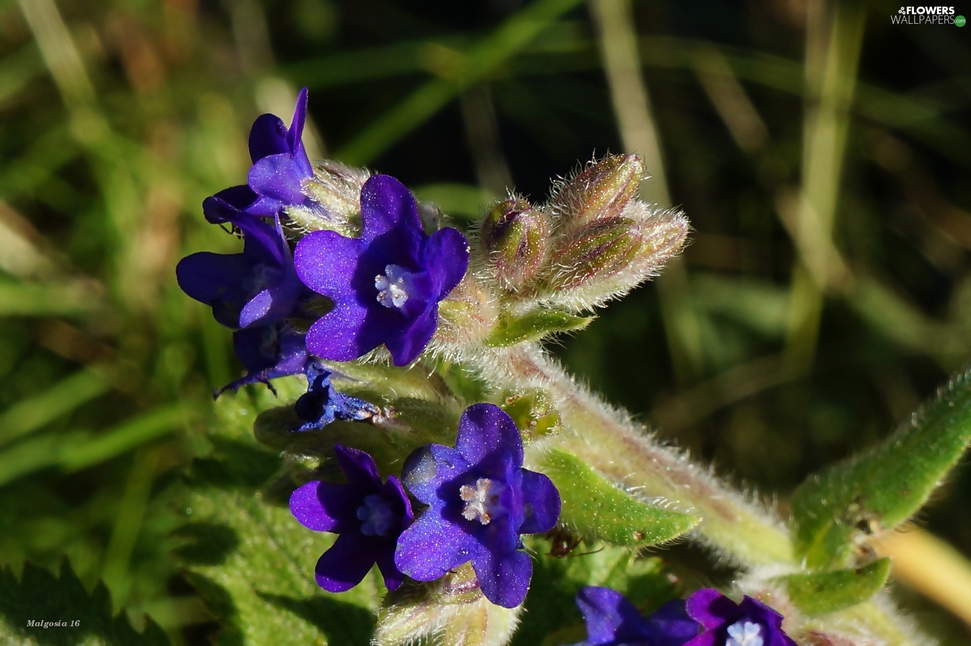 Bugloss, Flowers, purple