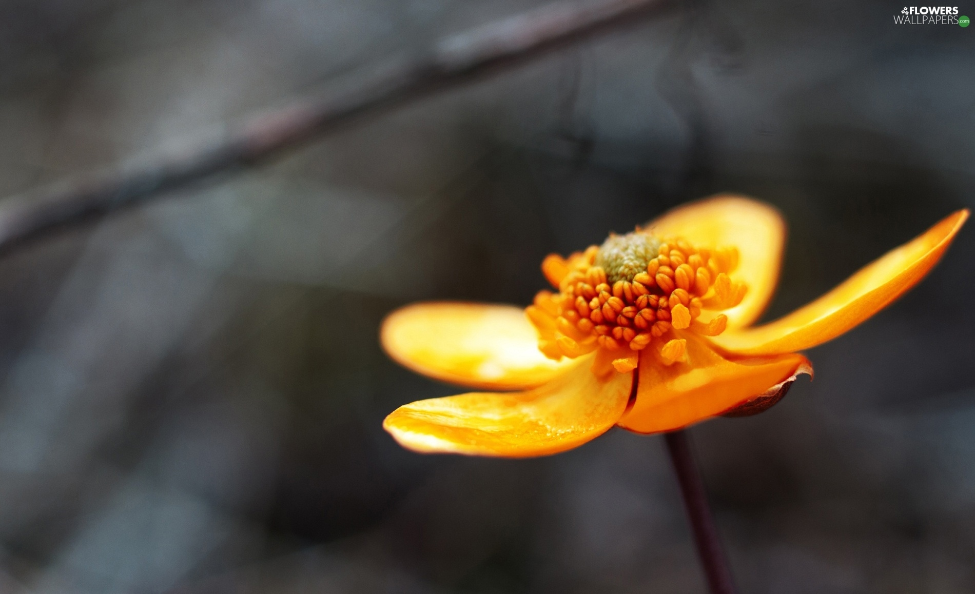 buttercup, Orange, Flower